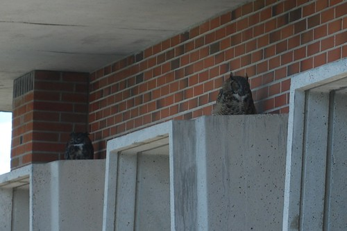 Owls on Dean Hall