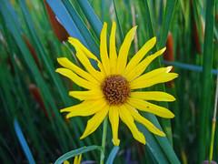 Ditch Flower (Roofer 1) Tags: flower nature ditch cattails wildflower soe naturesfinest blueribbonwinner flickrdiamond theperfectphotographer