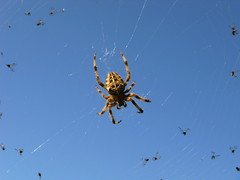araa * Araneus diadematus (jacilluch) Tags: red net bug insect spider araa bicho animalia arthropoda araneusdiadematus arachnida insecto araneae teladearaa insecta arana bichito crossspider chelicerata diademspider araadelacruz trasmallo