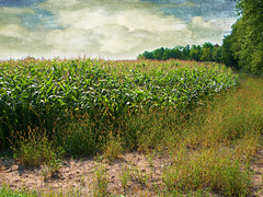 September Corn (JGKphotos) Tags: cornfield legacy textured fineartphotos awardtree dragondaggerphoto flickrvault magicunicornverybest selectbestfavorites trolledproud jgkphotos