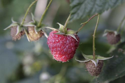 Framboise|Raspberry