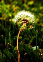 (Mary Claire) Tags: flowers flower green nature floral grass garden botanical photo flora image creative commons dandelion photograph creativecommons wildflower maryclaire