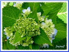 Hydrangea macrophylla 'Endless Summer', budding and blooming ever so gracefully!