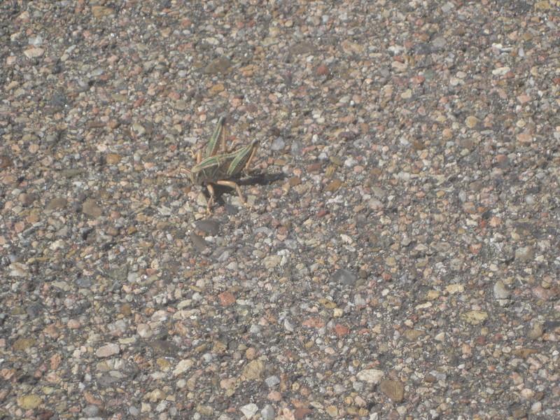 Stealth Locust