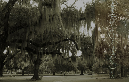 live oak moss string