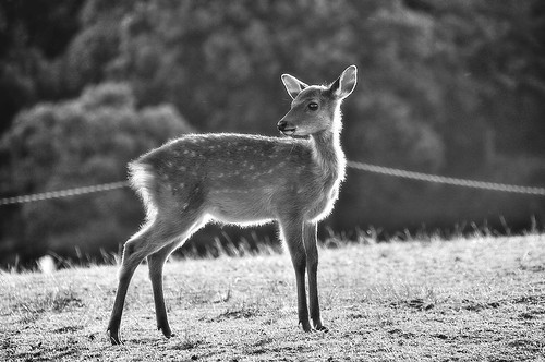 young deer ,Nara Wakakusayama