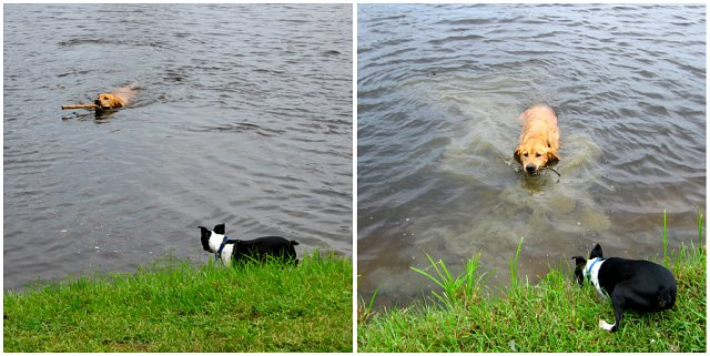 jake and kosmo playing fetch