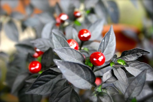 Black peppers turned red