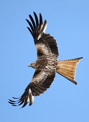 Red kite [Explored] (amylewis.lincs) Tags: uk bird nature animal wales nikon britain wildlife sigma raptor british birdofprey milvusmilvus 2011 d3000 150500mm