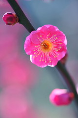 Can't Wait For Spring (*Sakura*) Tags: pink macro green japan blossom plum explore  sakura bud ume   naturesfinest