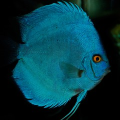 Discus Blue Diamond (Jean-Franois Chamberlan) Tags: soe golddragon mywinners colorphotoaward goldstaraward vosplusbellesphotos