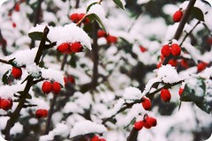 33/365.2 Berries (Fundingo) Tags: red snow scarlet bush berries bokeh explore february 2009 hpad hpad020209