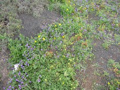 Lanzarote Spring Flowers taken near Ye in January (ROBERTFROST1960) Tags: ye springflowerslanzarote