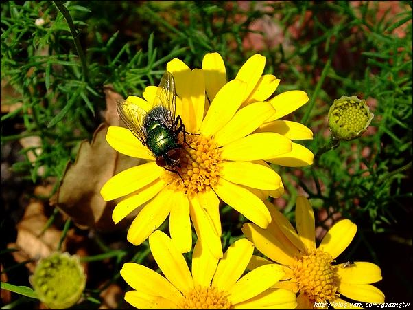 花上的蒼蠅