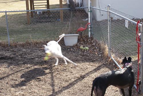 Three legged greyhound Calamity races