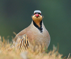 Chakor_ (GHULAM RASOOL MUGHAL) Tags: pakistan nature beautiful birds feathers photographers chukar chakor ghulamrasool pakistanpakistani clubsigns pakistanbirds