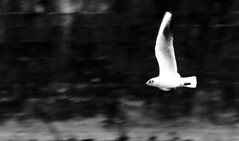 Panning: volare - Flying (Stefano Mazzoni) Tags: stefano485 stefanomazzoni nikon d300 nikond300 bird uccello gabbiano panning volare fly flying planning bw bn bianco nero black white roma rome italia italy tevere fiume stream tiber isolatiberina fatebenefratelli domenica sunday moring mattina criticheitaliane