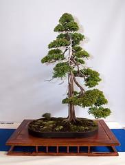 Bonsai from Best of British 2009 - Simon Temblett - Chamaecyparis Boulevard