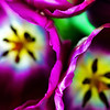 inside.... (janoid) Tags: love beauty spring purple heart tulips inside excellence 30faves30comments300views 50faves50comments500views supereco theheartwasrealllllythere