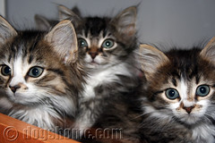 Kittens (The Lost Dogs' Home) Tags: rescue pet cats pets cute abandoned animal animals cat kitten feline tabby australia melbourne kittens victoria unwanted ldh rehomed adoption strays straycat nonprofit northmelbourne animalshelter animalwelfare straykitten rescuepet rescueanimal rehome bestofcats thelostdogshome flickrdogsandcats lostdogshome