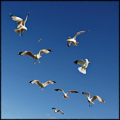 The hunters and the hunted (Now and Here) Tags: blue sky food seagulls white toronto ontario canada look birds turn canon square fly concentration focus fb gulls hunting flight dive competition powershot explore eat agility dodge prey seek frontpage collegiate hunters 1x1 competion predators navigate hunted mostviewed frenchfry sought agile eastyork compete eyci strive explorefrontpage view500 explore26 fave10 fave50 sx110is fave25 nowandhere davidfarrant