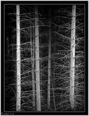 The Trees (^~^Pointyears) Tags: trees blackandwhite bw geotagged md aperture raw bare olympus haunting garrettcounty e520 borderfx maperture aperturefreakingrocks nolayersthough gottausegraphicconverterforthat notthatiquitegroklayers prwneedstoteachme