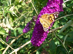 Painted Lady Butterfly on Buddleia (flicky@flickr) Tags: butterfly buddleia paintedlady saddlescombe