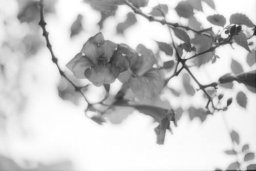 0801 Campsis grandiflora(凌霄花-のうぜんかずら-)