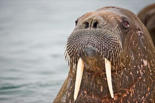 Arctic Fauna: Walrus