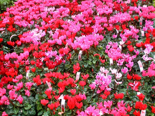 A sea of Cyclamen, at Woodies DIY, Bray