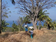 Toting cattle fodder. Women at work  high  on the hill above Mangsit, Lombok, Indonesia (Rana Pipiens) Tags: indonesia women fieldwork 1001nights blueribbonwinner hardlabor flickraward lombokindonesia cattlefodder mangsitlombokindonesia
