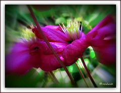 ~~ Clematis ~~ (brendamb - Brenda) Tags: light shadow flower clematis cropped mygarden pinkish naturesjewels goldsealofquality betterthangood justsobeautiful qualitypixels zoominess brendamb lovelylovelyphoto lamiciziafaladifferenza frameit mamasbloomers utstandingimages paulsplace