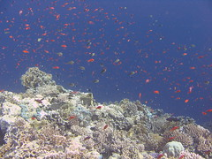 (YackNonch) Tags: red sea mer fish uw underwater redsea scuba diving diver plongée poissons plongeur merrouge