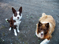 My duo. (J.T Photography) Tags: ball pose puppy focus tennis and bordercollie then now chomp askum chocolateandwhite