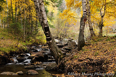 4_D306118-Birch, Tree, Forest, Stream, River, Sinkiang, China ------------- (HarryTaiwan) Tags: china autumn tree fall nature water beauty grass leaves rock forest river season landscape flow gold golden leaf woods stream outdoor background scenic conservation environmental ground nobody foliage fluid valley xinjiang environment birch     leafage purified    sinkiang        circulating    harryhuang  hgf78354ms35hinetnet