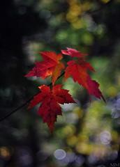 down by the river (madd-matt) Tags: autumn red canada blur fall leaves sunshine morninglight maple focus novascotia dof outoffocus redleaf allrightsreserved maddmatt nikond90 afnikkor50mm114d