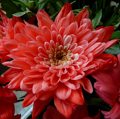 wedding anniversary flowers 30 years (coxy2001) Tags: flowers red panasonic excellentsflowers dmcfz28
