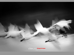 Dream (Imapix) Tags: voyage travel ballet canada bird art nature animal canon photography photo foto photographie quebec flight qubec migration oiseau snowgeese oie imapix snowgoose gaetanbourque oieblanche 100commentgroup vosplusbellesphotos imapixphotography gatanbourquephotography