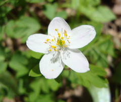 Wildflower Close Up (dccradio) Tags: flowers plants white flower green uw nature wisconsin woods scenery natural scenic arboretum trail greenery wildflowers wi naturetrail marshfield mayflowers arboretumtrail uwmarshfield arboretumnaturetrail uwmarshfieldarboretumnaturetrail