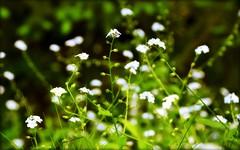 Bokeh - Flowers - Forget-me-nots (blmiers2) Tags: flowers newyork flower green me nature nikon bokeh study forget nots forgetmenots d3100 blm18 blmiers2