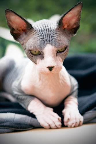 [フリー画像] 動物, 哺乳類, 猫・ネコ, スフィンクス (ネコ), 201106201100
