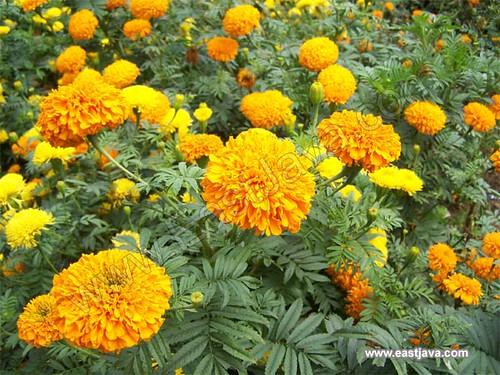 Chrysant Flower (Selecta) - Batu - East Java
