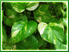 Epipremnum aureum 'Golden Pothos' (Devil's Ivy, Money Plant, Silver/Taro Vine, Hunter's Robe) in our tropical garden