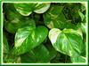 Epipremnum aureum 'Golden Pothos' (Pothos, Devil's Ivy, Money Plant, Silver Vine, Centipede tongavine, Hunter's Robe, Taro Vine)