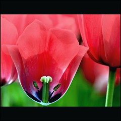 The world is watching! (Maureen F.) Tags: red flower green history spring bravo searchthebest tulips bokeh noon excellence barackobama newbeginnings naturesfinest colorphotoaward theworldiswatching jan20th2009 unitedstatespresidentialinauguration