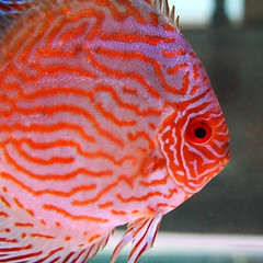 Discus three (weesen) Tags: red orange fish macro lines closeup aquarium tank stripes fishes discus freshwater cichlid whiteeyes symphysodon