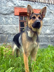 The Queen (FriaLOve) Tags: flowers light summer orange dog white house plant black cute green rock finland puppy shepherd leg adorable collar alsatian soe ruovesi mywinners abigfave friia frialove