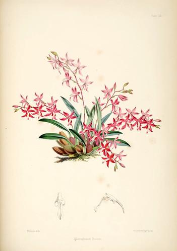 022-Odontoglossum Roseum