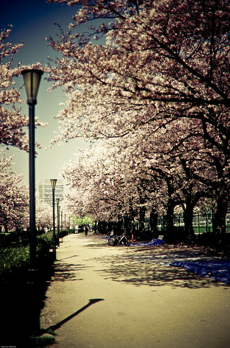 Un ciel bleu et un arbre de la cerise2 -Sakura2009 #49-