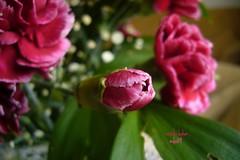 Bahar... (mdn09) Tags: relax bahar fotoroman karanfil freephotos gnneniyisi mdn09